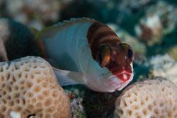 BD-150226-Sharm-6977-Epinephelus-fasciatus-(Forsskål.-1775)-[Blacktip-grouper.-Guldgrouper].jpg